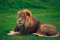 雄ライオン