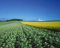ジャガイモ畑と麦秋 28144034818| 写真素材・ストックフォト・画像・イラスト素材|アマナイメージズ