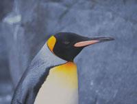 ペンギン 28144040296| 写真素材・ストックフォト・画像・イラスト素材|アマナイメージズ