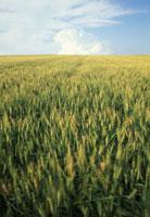 麦畑 28144046944| 写真素材・ストックフォト・画像・イラスト素材|アマナイメージズ