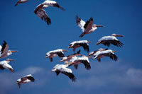 ナクル湖のペリカンの群れ