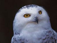 白フクロウ 28144065010  写真素材・ストックフォト・画像・イラスト素材 アマナイメージズ