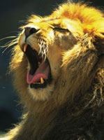 ライオン 28144069917| 写真素材・ストックフォト・画像・イラスト素材|アマナイメージズ