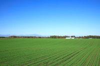 小麦畑 28144073554| 写真素材・ストックフォト・画像・イラスト素材|アマナイメージズ
