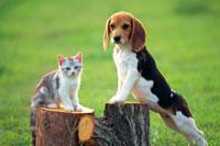 ビーグルと仔猫