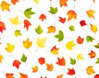 紅葉の葉 28144080726| 写真素材・ストックフォト・画像・イラスト素材|アマナイメージズ