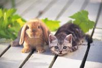 アメリカンショートヘアーとウサギ