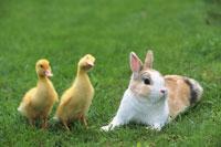 ウサギとアヒル