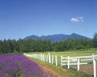 富良野の夏  北海道