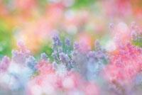 花畑イメージ 28144089365| 写真素材・ストックフォト・画像・イラスト素材|アマナイメージズ