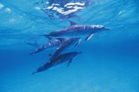 水面のマダライルカの群