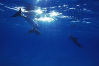 水面のマダライルカ