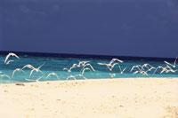 モルジブのアジサシ 28144098908| 写真素材・ストックフォト・画像・イラスト素材|アマナイメージズ