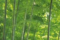 竹林 28144101028| 写真素材・ストックフォト・画像・イラスト素材|アマナイメージズ