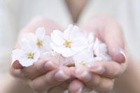 桜の花 28174007039| 写真素材・ストックフォト・画像・イラスト素材|アマナイメージズ