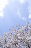 桜の花と空 28174007081| 写真素材・ストックフォト・画像・イラスト素材|アマナイメージズ