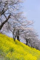 菜の花畑と桜 28174007083| 写真素材・ストックフォト・画像・イラスト素材|アマナイメージズ