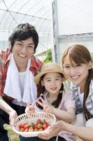 イチゴ摘みをする家族
