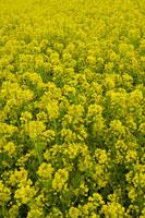 菜の花畑 28177002420  写真素材・ストックフォト・画像・イラスト素材 アマナイメージズ
