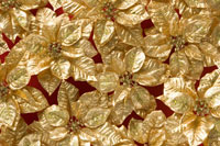 一面のゴールドポインセチア