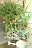 玄関脇で育てているローズマリーやアロエ 28177002956| 写真素材・ストックフォト・画像・イラスト素材|アマナイメージズ