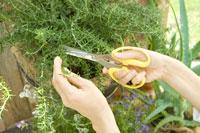自家菜園のローズマリーを採る女性の手元