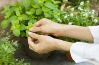 庭先で栽培したミントを収穫する女性