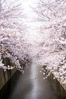 目黒川の桜 28188000313| 写真素材・ストックフォト・画像・イラスト素材|アマナイメージズ