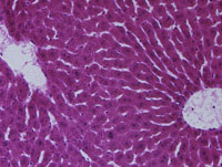 肝臓の組織
