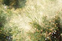 サンブスギ 28194000337| 写真素材・ストックフォト・画像・イラスト素材|アマナイメージズ
