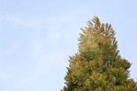 サンブスギ 28194000384| 写真素材・ストックフォト・画像・イラスト素材|アマナイメージズ