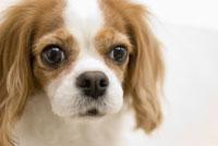 キャバリア犬