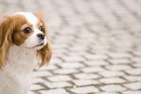 路上のキャバリア犬
