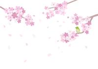 桜とめじろ 60003000034| 写真素材・ストックフォト・画像・イラスト素材|アマナイメージズ