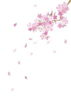 桜 60003000035| 写真素材・ストックフォト・画像・イラスト素材|アマナイメージズ