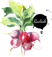 Radish with leaf. Hand drawn watercolor painting on white background. Vector illustration