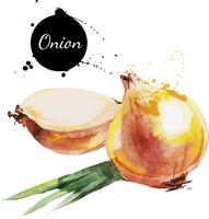 Onion. Hand drawn watercolor painting on white background. Vector illustration 60016001451| 写真素材・ストックフォト・画像・イラスト素材|アマナイメージズ
