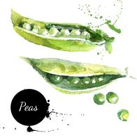 Peas. Hand drawn watercolor painting on white background. Vector illustration 60016001472| 写真素材・ストックフォト・画像・イラスト素材|アマナイメージズ