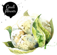 Cauliflower. Hand drawn watercolor painting on white background. Vector illustration