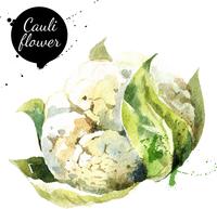 Cauliflower. Hand drawn watercolor painting on white background. Vector illustration 60016001474| 写真素材・ストックフォト・画像・イラスト素材|アマナイメージズ
