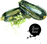 Zucchini. Hand drawn watercolor painting on white background. Vector illustration