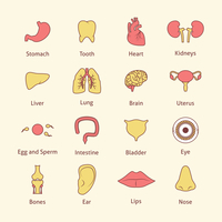 Human organs flat line icons set stomach tooth heart isolated vector illustration