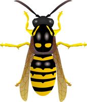 Vectors wasp