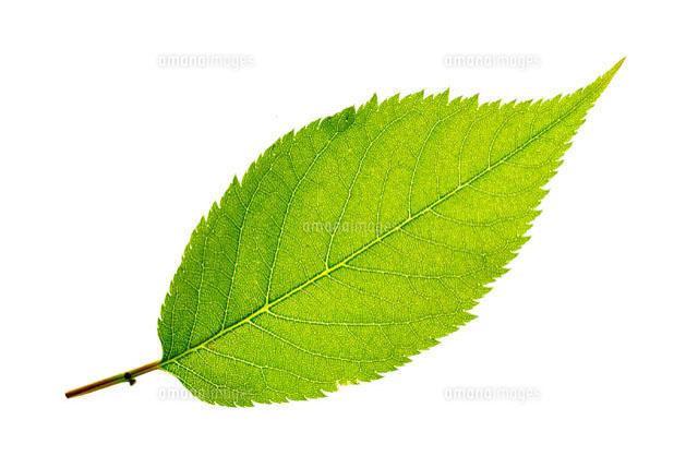 新緑の葉[10120002890]  写真素...