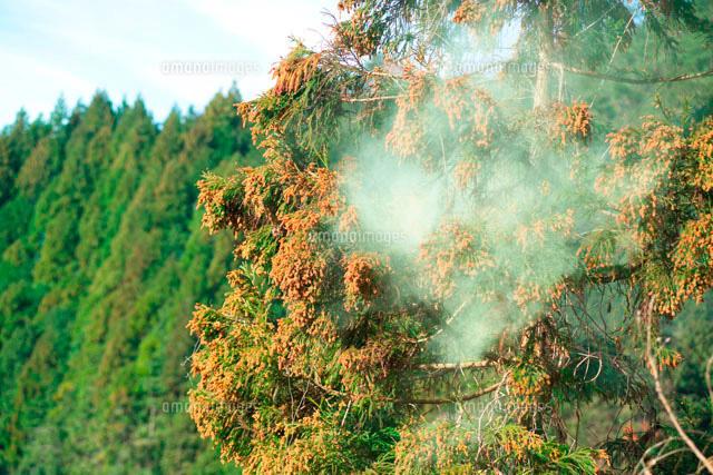 スギ花粉[10179002688]| 写真素...