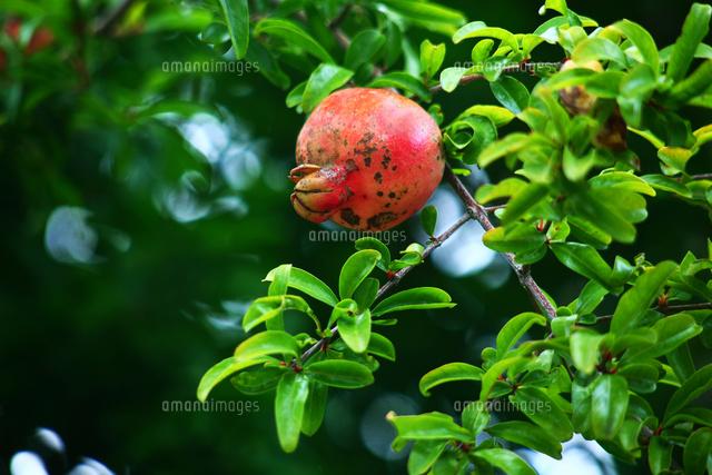果物 ザクロの実が熟す頃[101890...