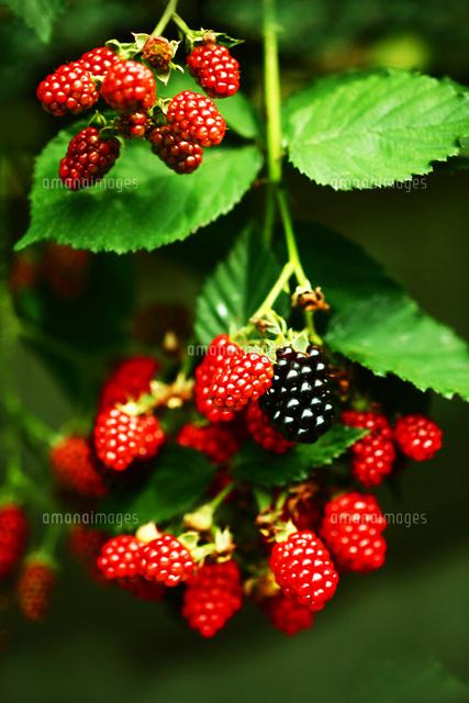 果実 ブラックベリーの実が熟す[...