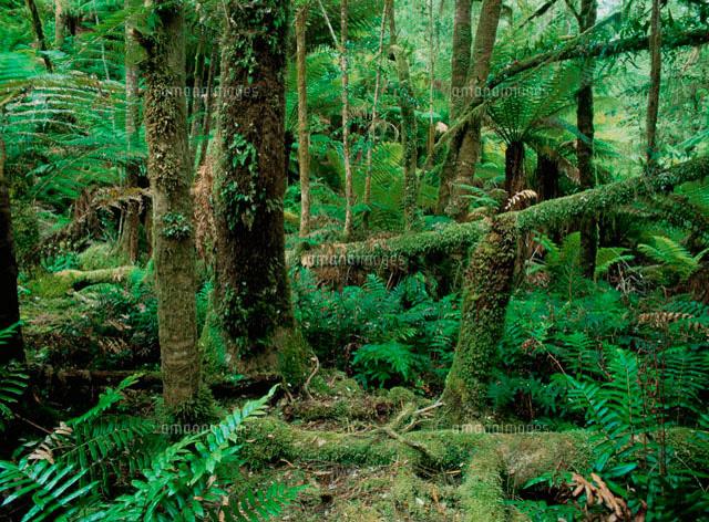タスマニアのジャングル[10244000018]| 写真素材・ストックフォト