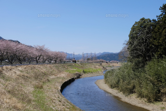 佐分利川の桜並木[10277007176]...