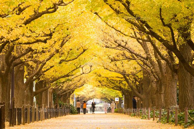 「神宮外苑いちょう並木」の画像検索結果